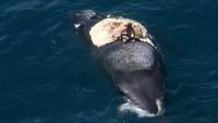 Mann hoppet opp på død hval med haier sirklende rundt