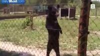 Se bjørnen gå på to bein!