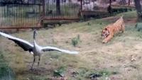 Den uheldige fuglen havnet hos tigrene – så går den plutselig til angrep