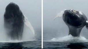 Spektakulær knølhval viste seg frem på hvalsafari