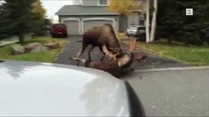Fanget unik elgkamp på video