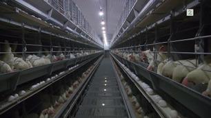 Hvordan har hønene det eg(g)entlig?