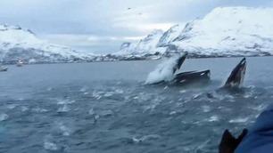 Her fosser knølhvalen opp like ved siden av båten til Svein