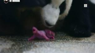 Se hva Panda-mor gjør når ungen slår seg vrang