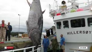 Dro 190 gigantfisk utenfor Ålesund – fangsten kan være verdt opptil 10 millioner