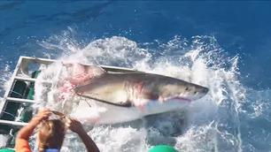 Her knuser haien det haisikre buret