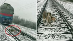 Den tapre hunden nekter å forlate bestevennen på togskinnene