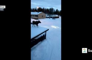 Fikk elg på garasjetaket