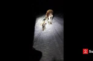 Her går elgen til angrep