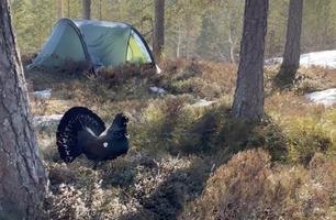 Koser seg på telttur – så angriper den sinte tiuren!