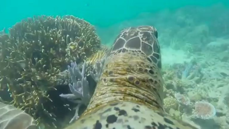 Se skilpaddens ferd over Great Barrier Reef